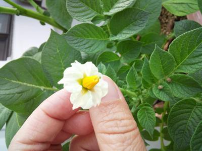<やっと一輪咲いたジャガイモの花です>