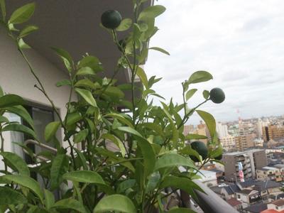 沖縄の植物、シークワサも この肌寒さにビックリしてるでしょうね。