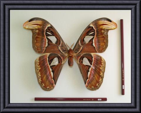 ヨナグニサンの標本です。 現地の言葉でアヤミハビルと呼ぶんですが、この写真はヨナグニサン専門?の博物館「アヤミハビル館」のサイトから拝借しました。 彼らの短い一生を思えば、人間として与えられた時間をどう過ごすか、考えてしまいます。