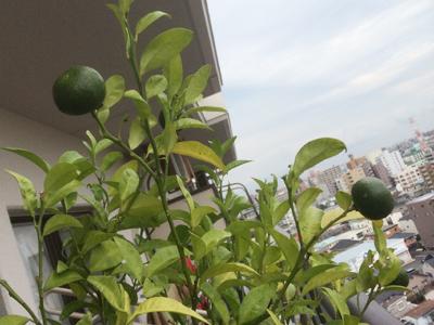 ベランダで育てているシークワサ・・・ だいぶ実が大きくなってきて重そうです。