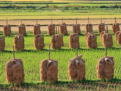 実家・山形県庄内地方の稲干し風景です
