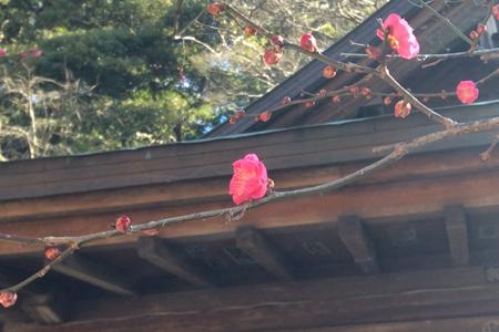 沖縄では、桜の花が咲いてます。